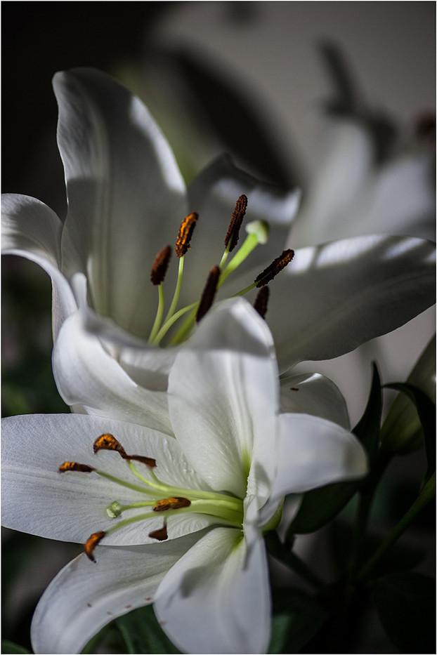 16 WHITE LILIES by Jenny Clark