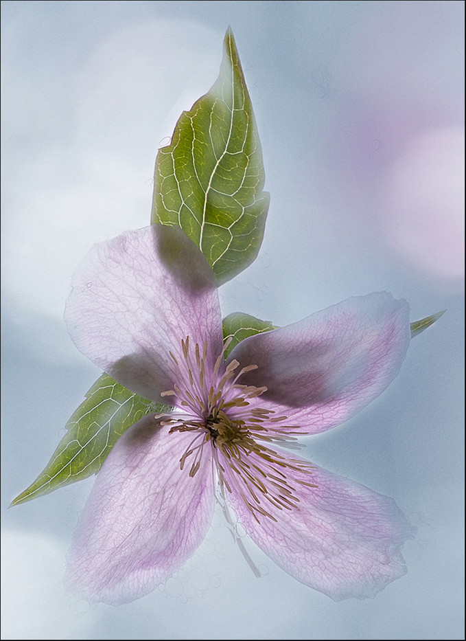 17 CLEMATIS by Jenny Clark