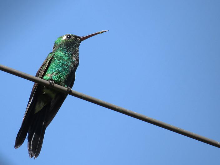 15 CUBAN EMERALD HUMMINGBIRD by Cathie Agates