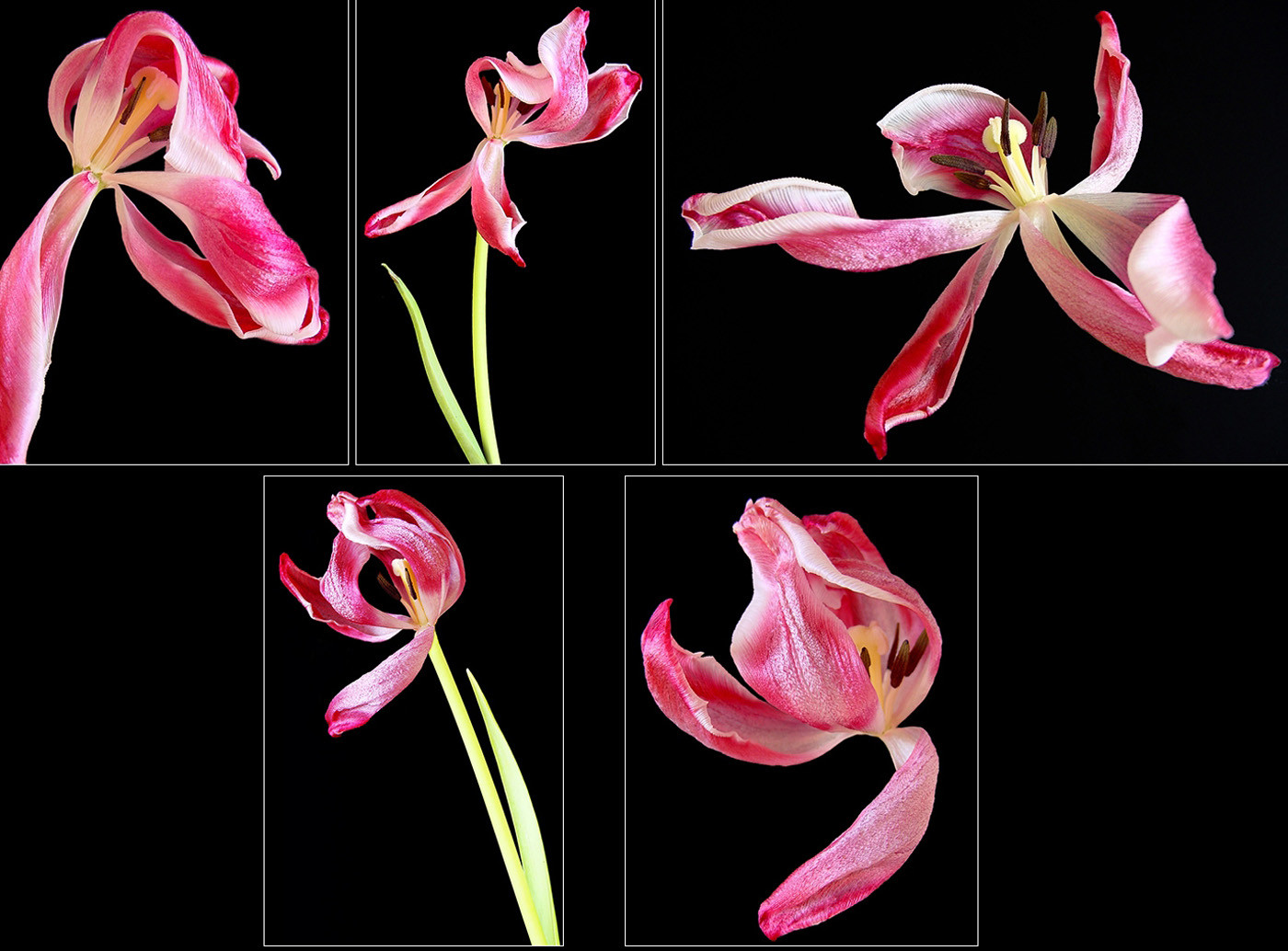 18 IMPRESSIONS FROM A DYING TULIP by Peter Tulloch