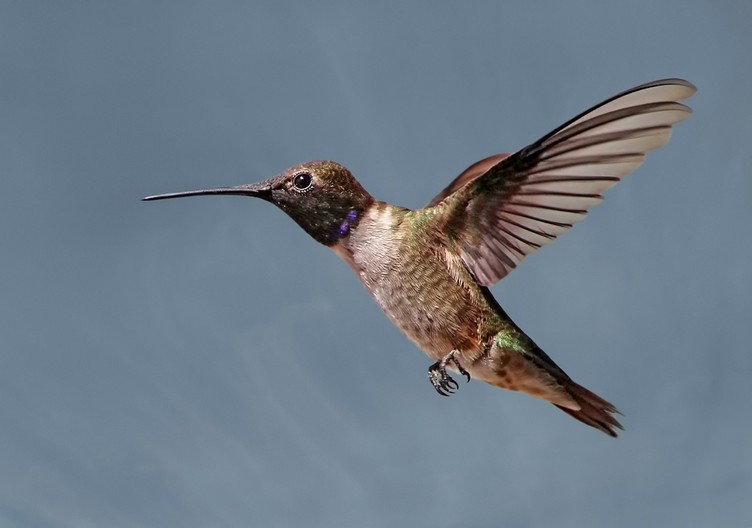 19 HUMMINGBIRD HOVERING by Pam Sherre