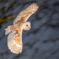 18 HUNTING BARN OWL by David Godfrey