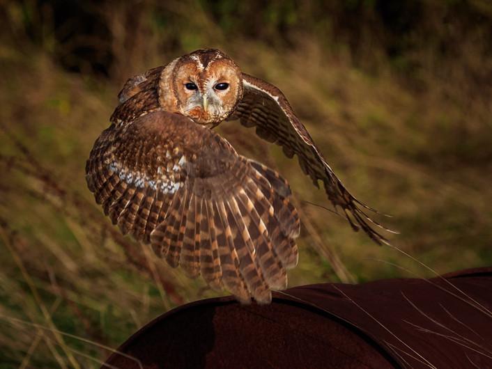 16 TAWNY OWL TAKING FLIGHT AT LAST LIGHT by David Godfrey