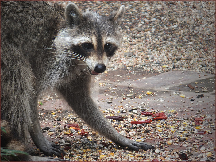 15 STARTLED RACCOON by Cathie Agates