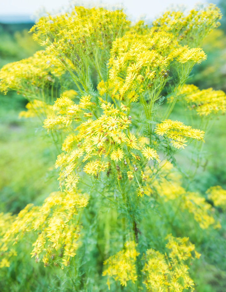 17 RAGWORT by Steve Oakes