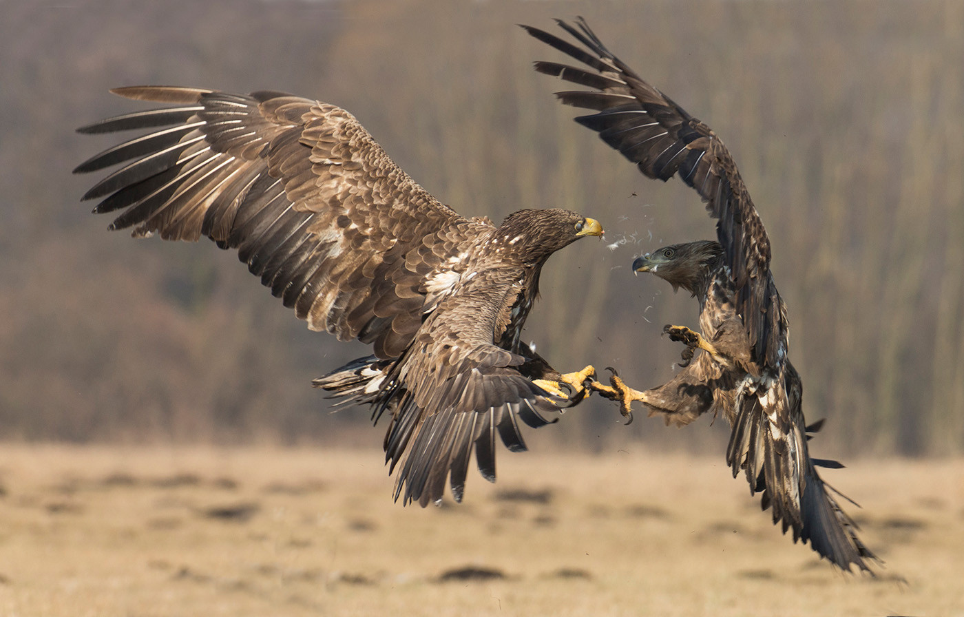 20 WHITE TAILED SEA EAGLES by John Hunt