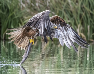 20 RED KITE WITH PREY by Alan Cork