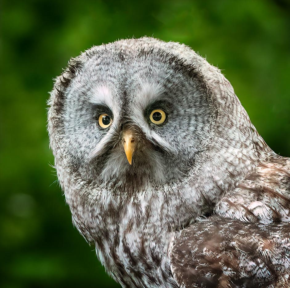 18 GREAT GREY OWL by John Butler
