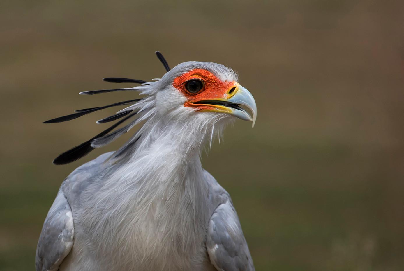 19 SECRETARY BIRD by Glenn Welch