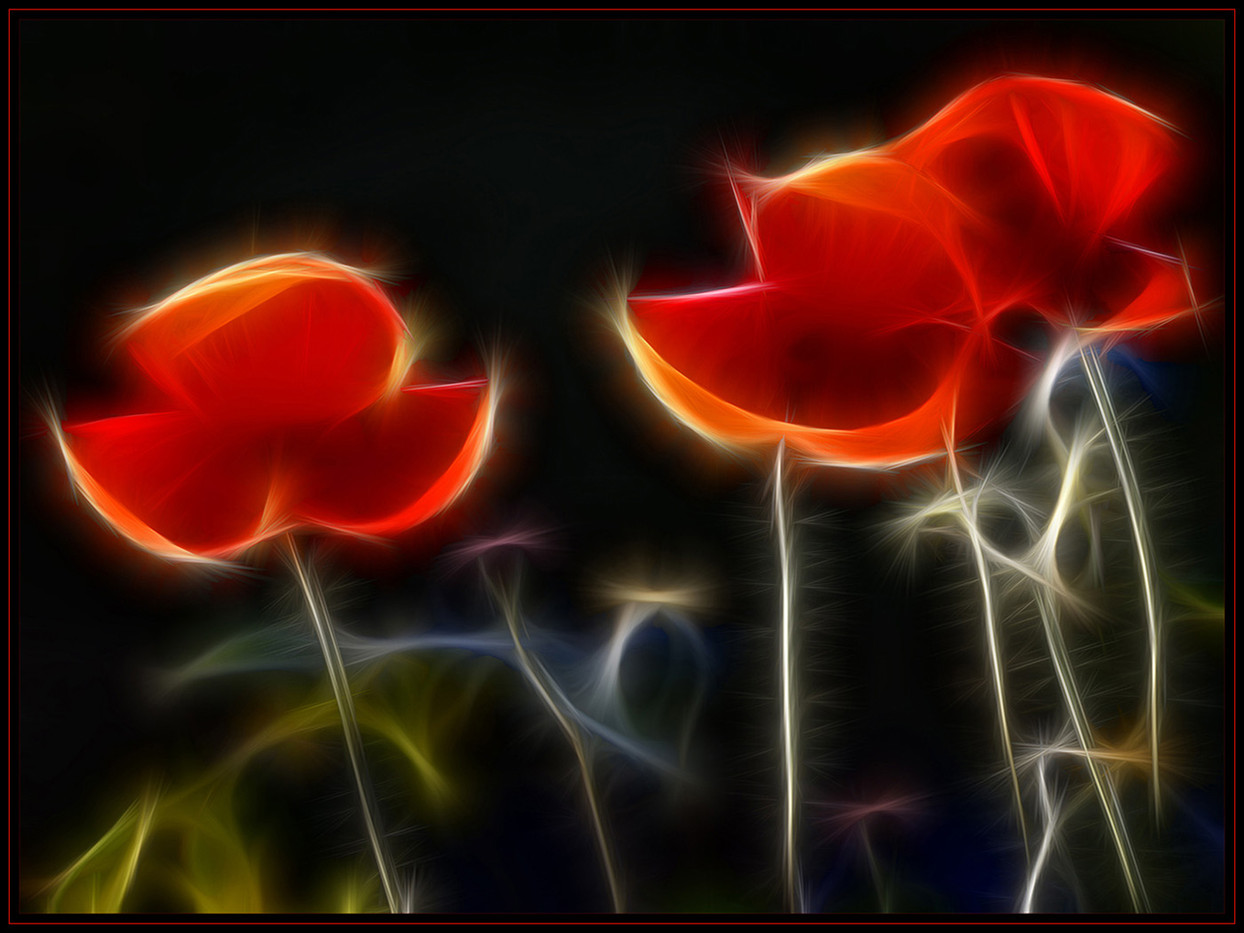 18 BACKLIT POPPIES by Mick Dudley