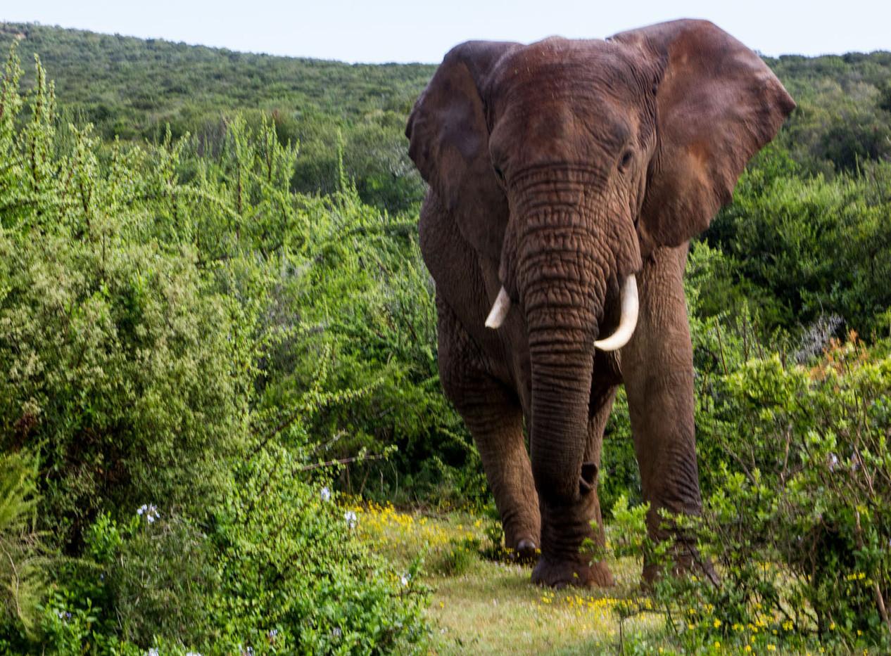 18 AFRICAN ELEPHANT by Liz Turton