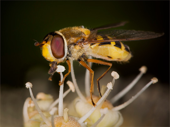 HOVERFLY ON FATSIA by Roger Wates