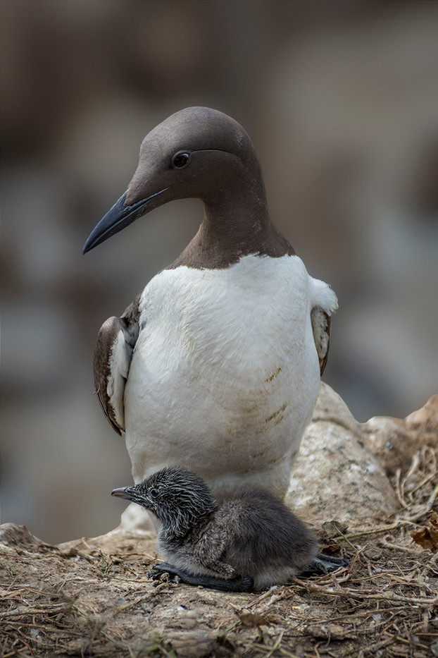 19 GUILLEMOT WITH YOUNG by Alan Cork