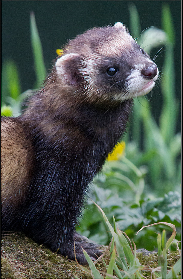 15 POLECAT FERRET by Cathie Agates