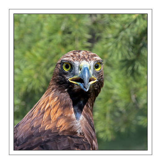16 GOLDEN EAGLE by Mike Shave.