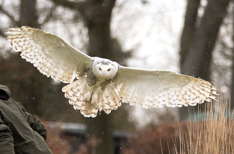 16 SNOWY OWL by Ray Crowle
