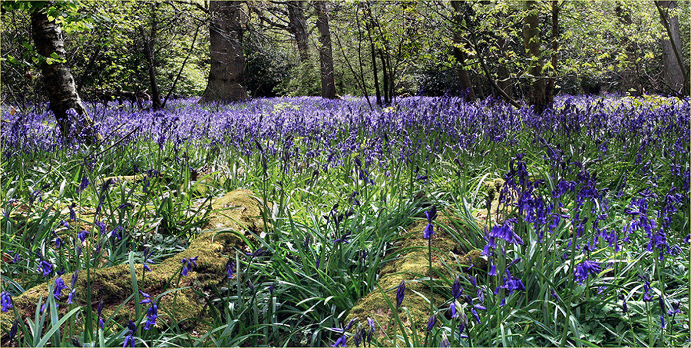 Group 1 18 LOW LEVEL BLUEBELLS by Mike Shave