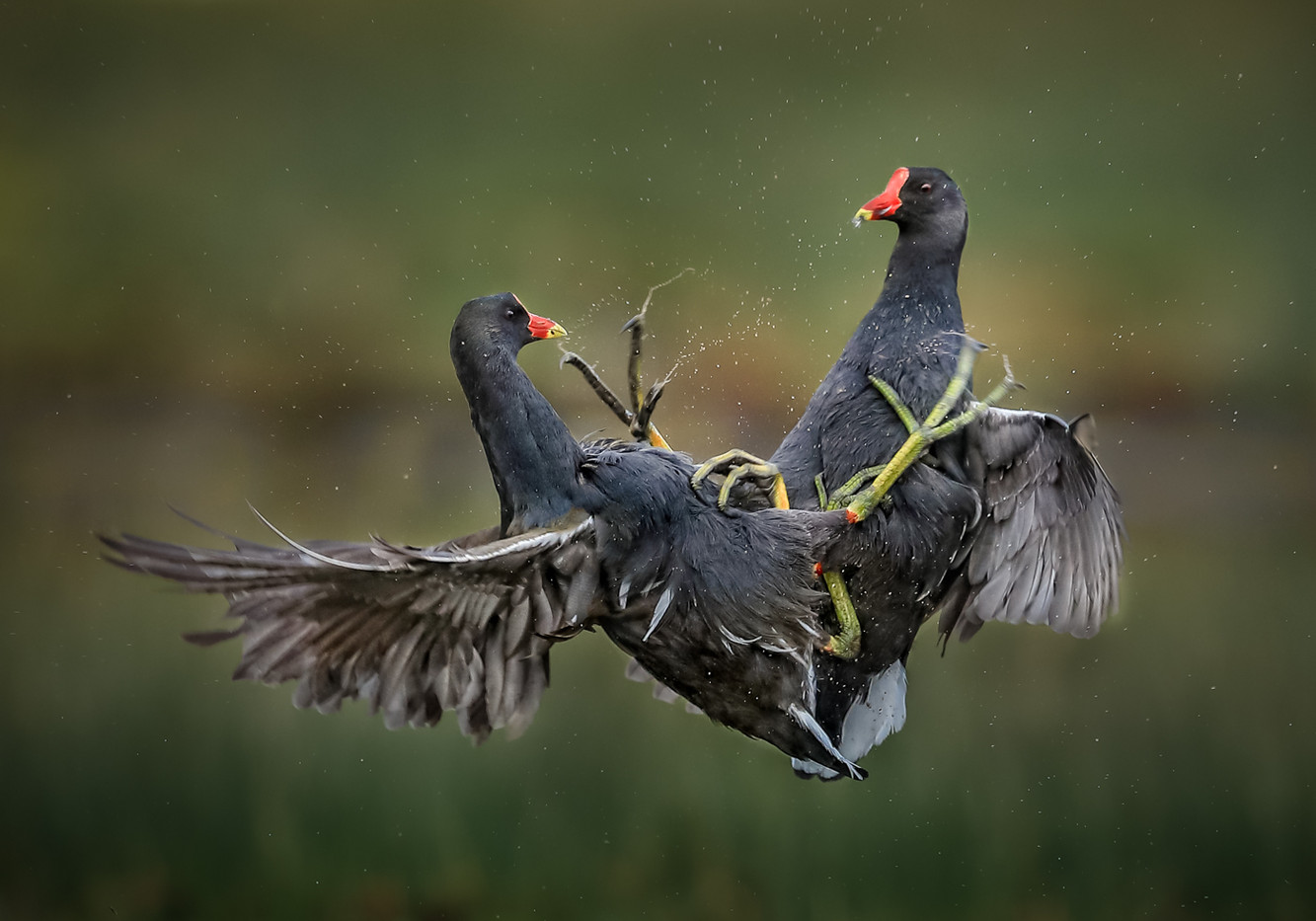 20 (Second) MOORHENS IN AERIAL COMBAT by David Godfrey
