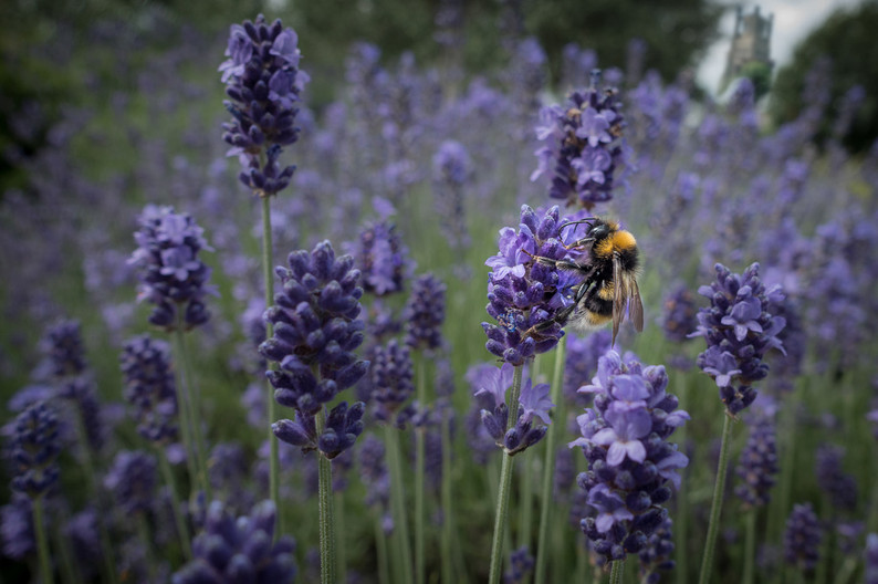 16 BUMBLE BEE ON LAVENDER AT ELY by Tony Hill