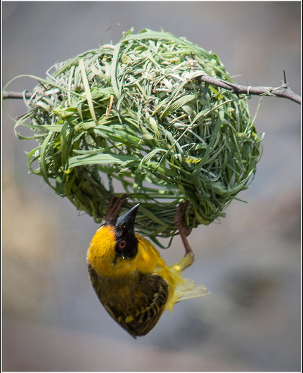 16 WEAVER BIRD AT NEST by Cathie Agates