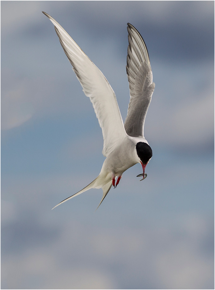20 ARCTIC TERN DESCENDING WITH CATCH by Colin Burgess