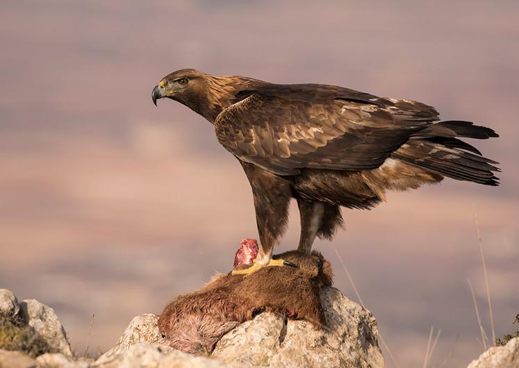 17 (PRINT) WILD GOLDEN EAGLE WITH PREY by Glenn Welch