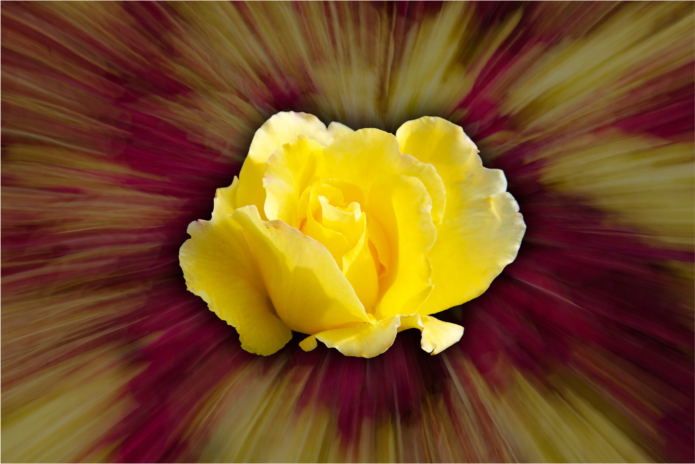 17 YELLOW ROSE by Dave Brooker