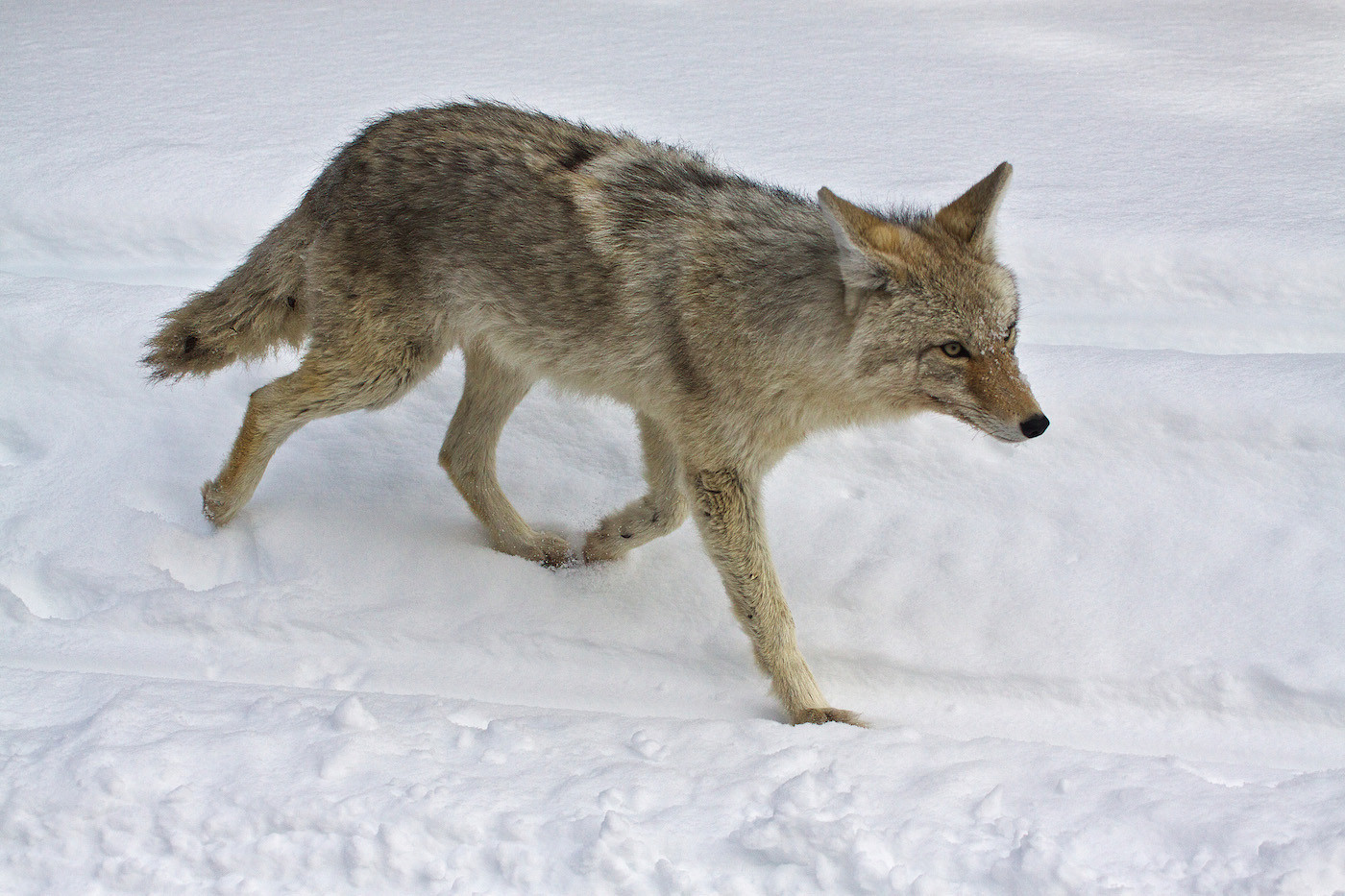 17 COYOTE by John Lewis