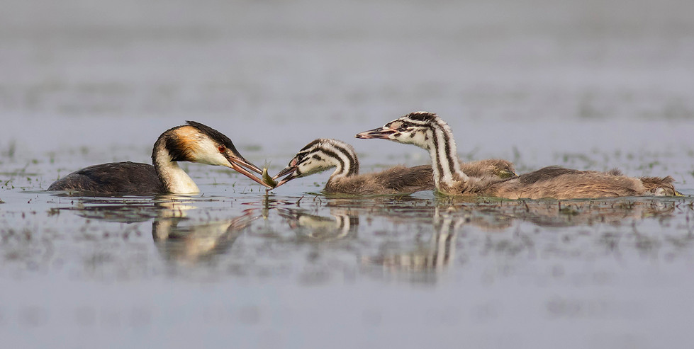 20 GREAT CRESTED GREBES by Glenn Welch