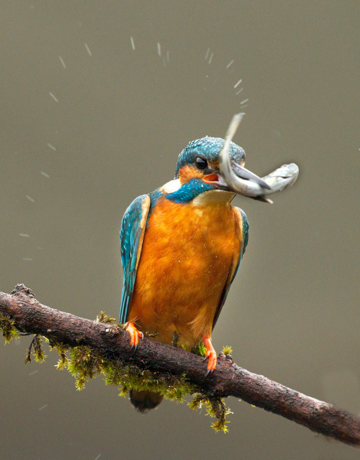 GROUP 1 20 KINGFISHER CATCH by John Hunt