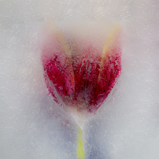 3rd= FROZEN TULIP by Colin Smith