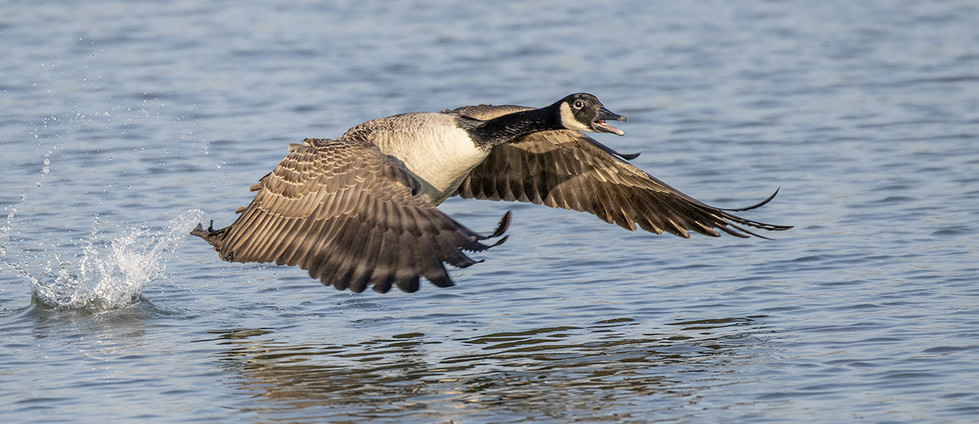 18 CANADA GOOSE TAKES OFF  by Alan Cork