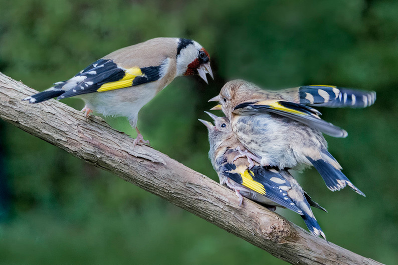 18 GOLDFINCH SIBLING RIVALRY by Alan Cork