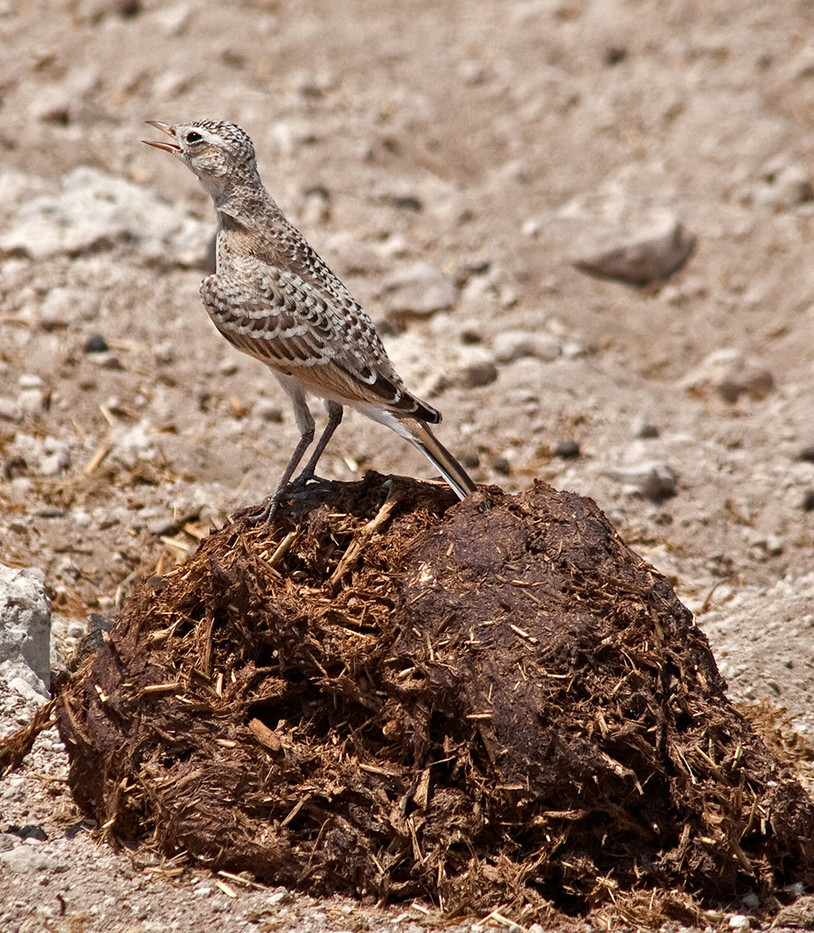 14 SPIKE-HEELED LARK by Peter Tulloch
