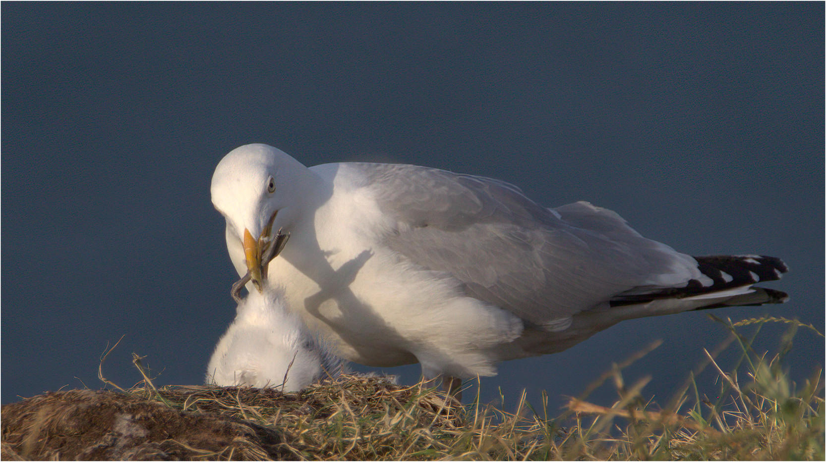 17 GULL WITH GANNET CHICK PREY by Colin Burgess