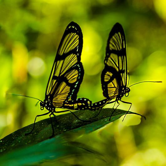 15 MATING BUTTERFLIES by Rabah Ichadadene
