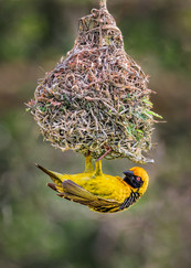 20 MALE SOUTHERN MASKED WEAVER WITH COMPLETED NEST by David Godfrey
