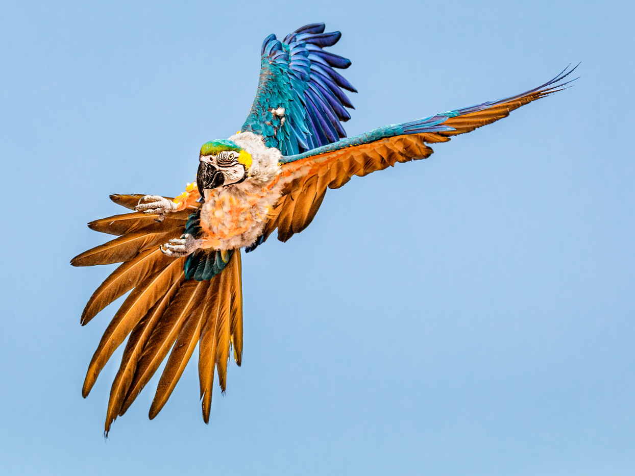 18 HEAD ON MACAW by David Godfrey