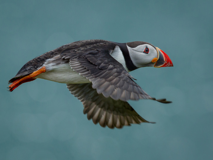 20 PASSING PUFFIN by David Godfrey