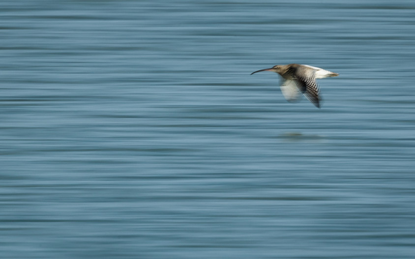 18 ENDANGERED CURLEW ARE DISAPPEARING by David Godfrey