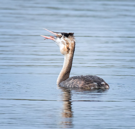 18 GREAT CRESTED GREBE EATING CATCH by John Butler