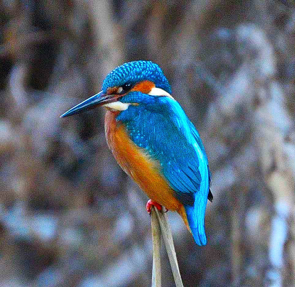 18 KINGFISHER by Ray Crowle