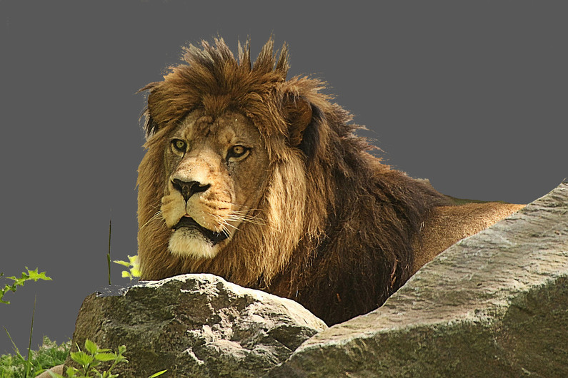 14 LION by David Lucy