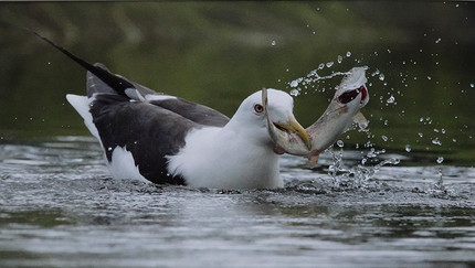 18 GULL WITH CATCH TOO BIG TO SWALLOW by John Hunt