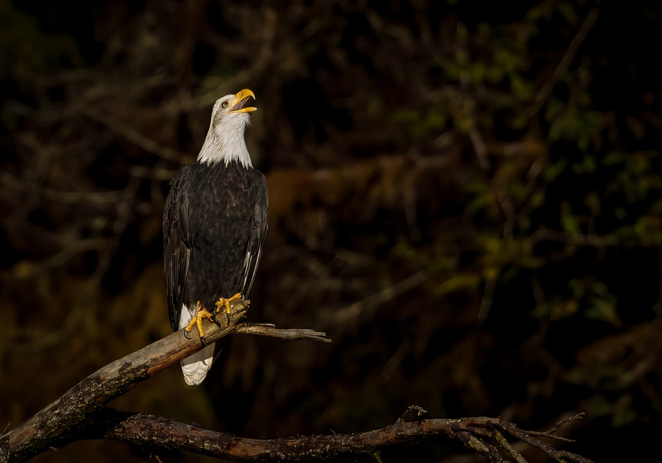 19 A BALD EAGLE CALLS INTO THE WILDERNESS by David Godfrey