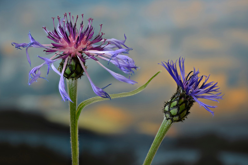 19 KNAPWEED IN THE LAST RAYS OF THE DAY by Alan Cork
