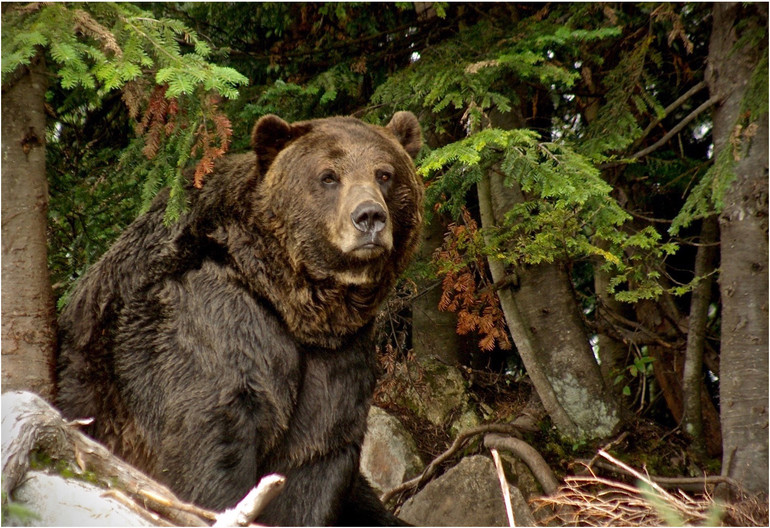 14 GRIZZLY BEAR by Ron Gaisford.