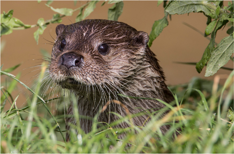 17 OTTER ON WATCH by Colin Burgess