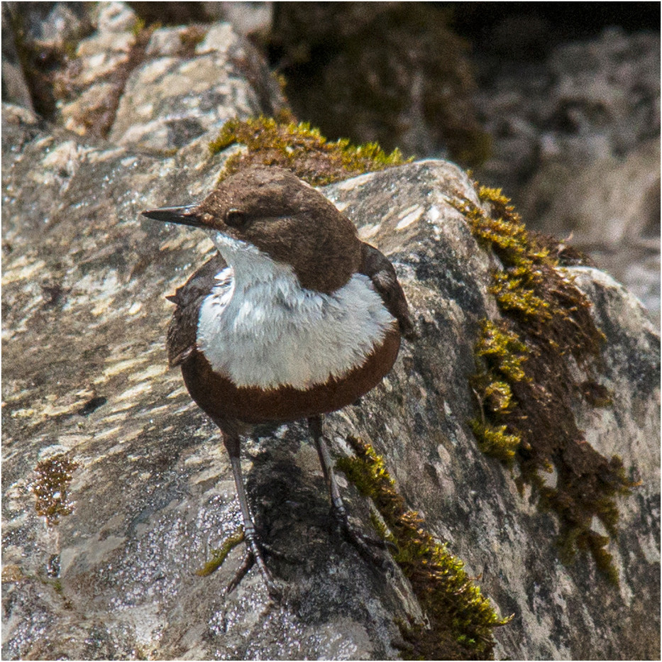 16 DIPPER ON THE ROCKS by Colin Burgess