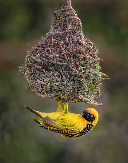 20 (PRINT) MALE SOUTHERN MASKED WEAVER WITH COMPLETED NEST by David Godfrey